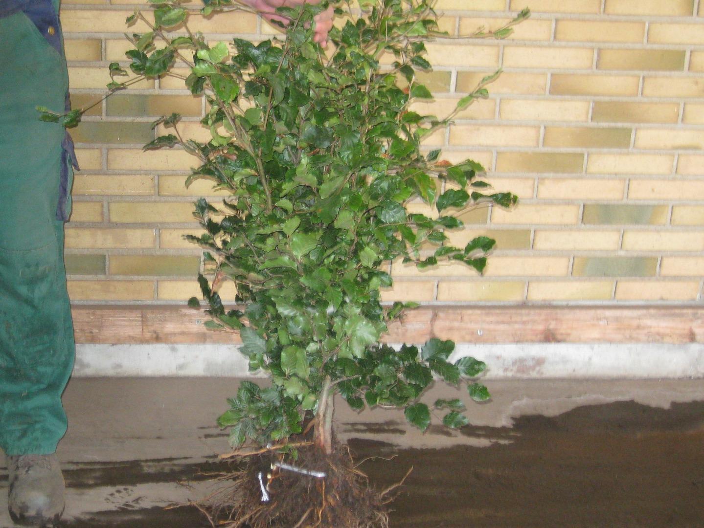Køb kvalitets planter online hos Aarestrup Planteskole